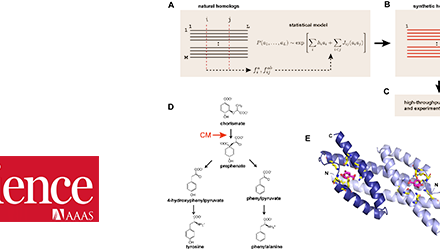 Modèle évolutionnaire pour la conception de protéines chorismate mutase